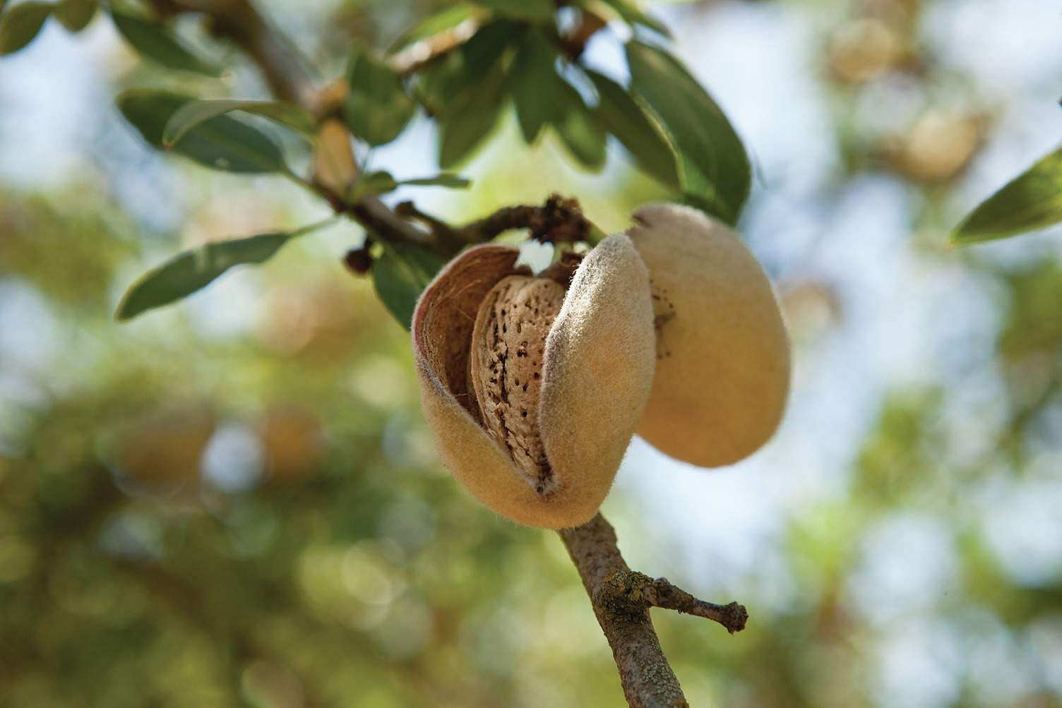 An almond ready for picking
