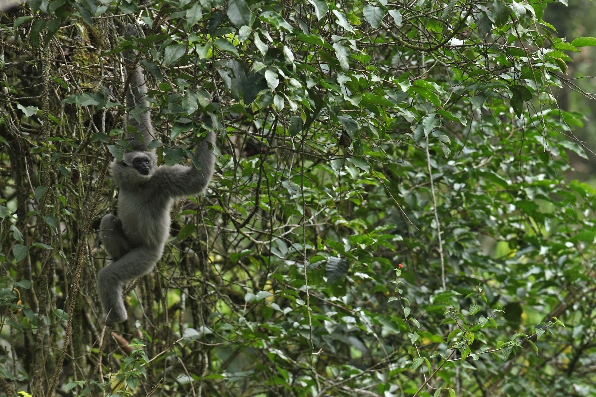 A silvery gibbon in West Java