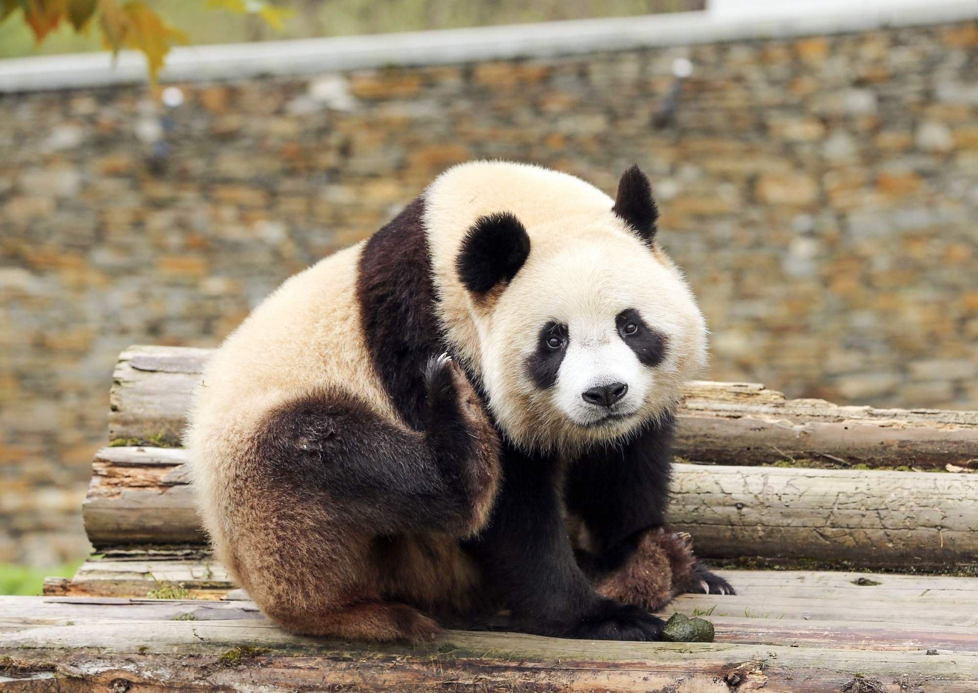 A giant panda at Wolong Nature Reserve