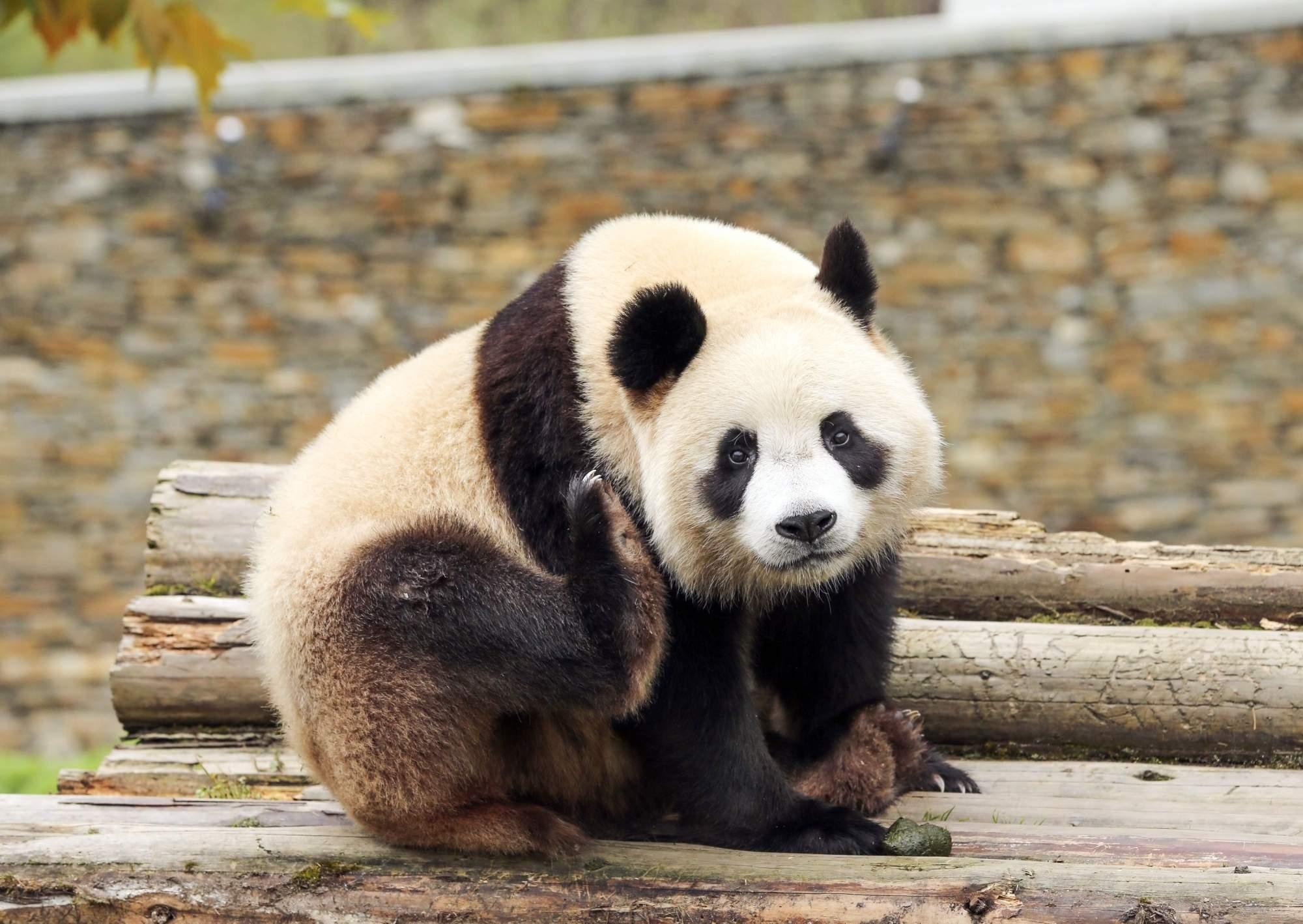A giant panda at Wolong Nature Reserve