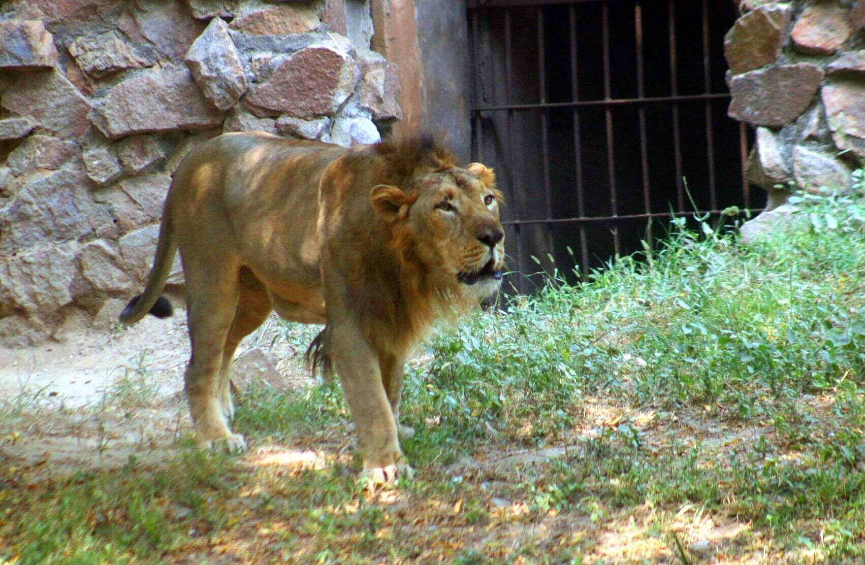 A lion at the National Zoo, New Delhi