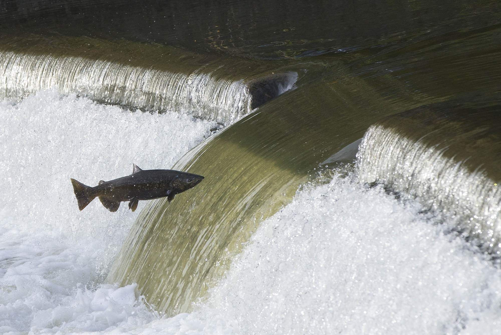 A salmon on Humber River