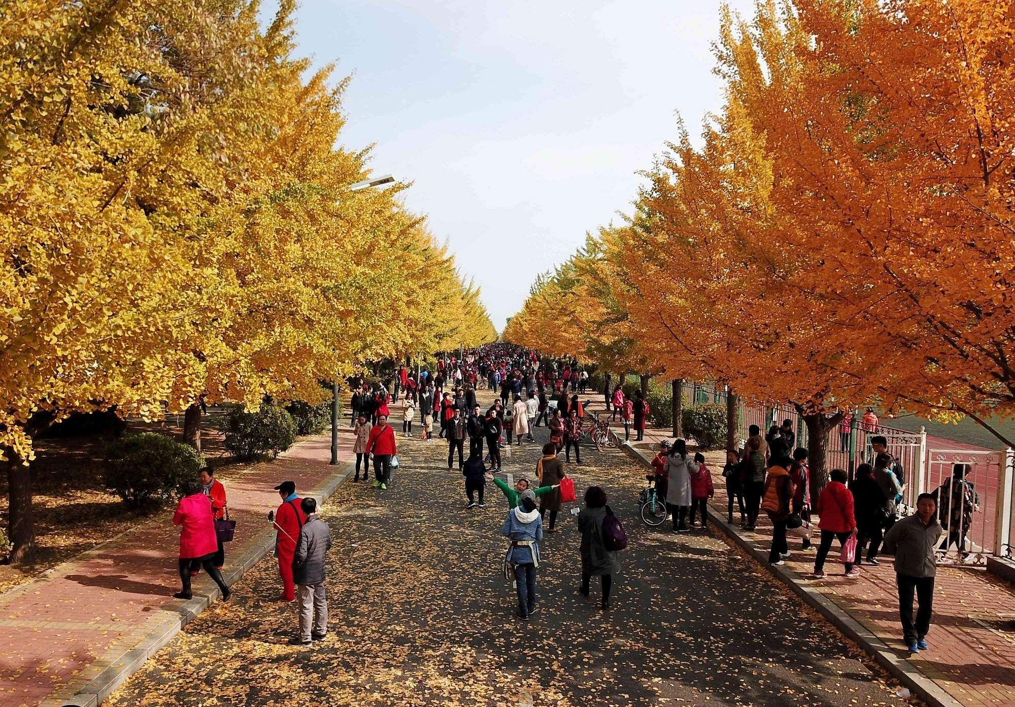 Ginkgo trees in Shenyang