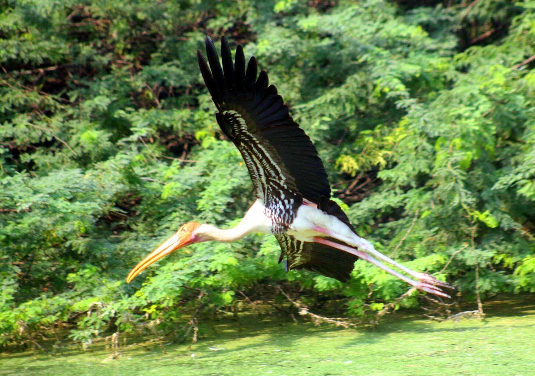 A flying stork at the National Zoo, New Delhi