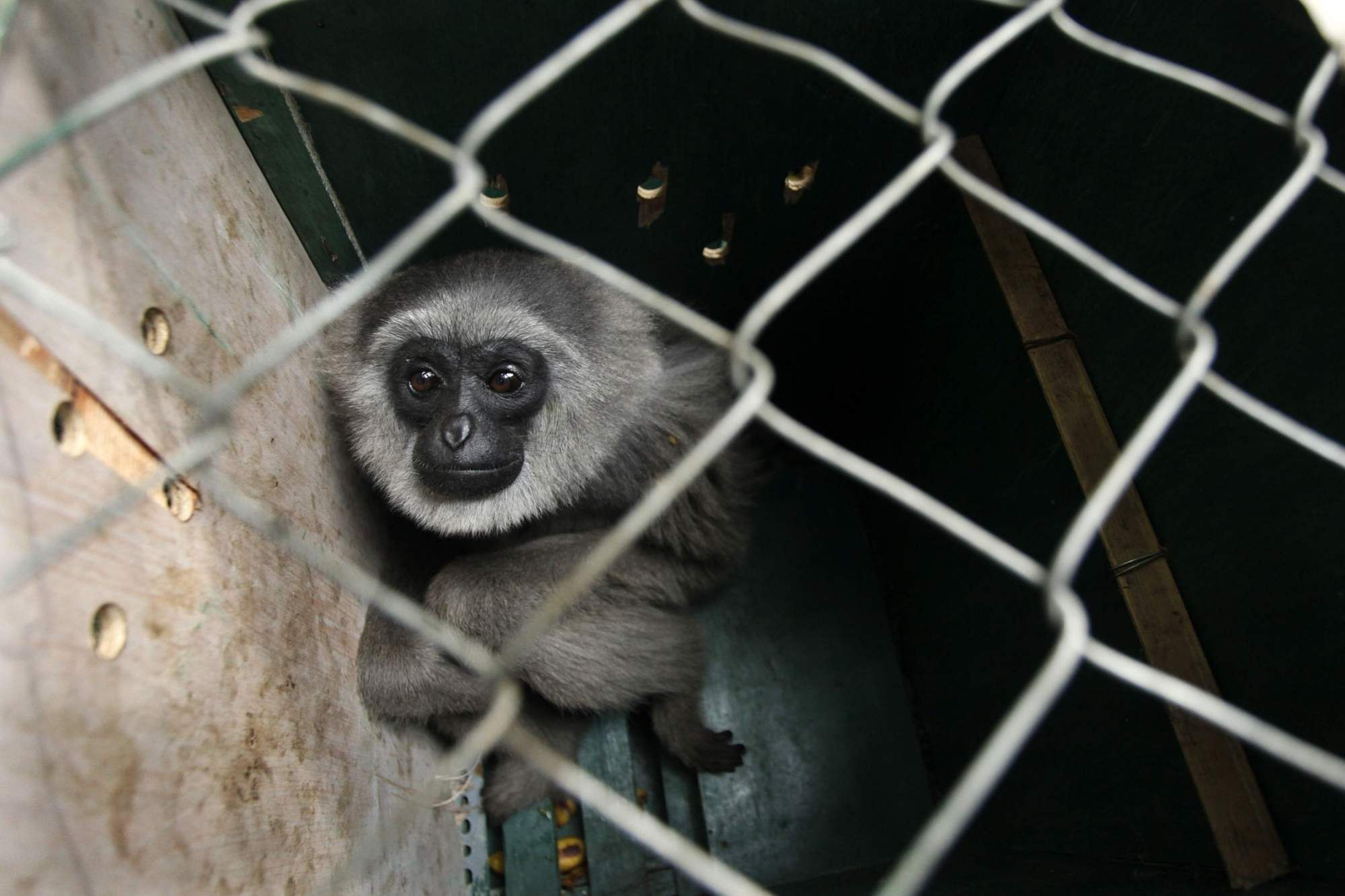 A silvery gibbon in West Java