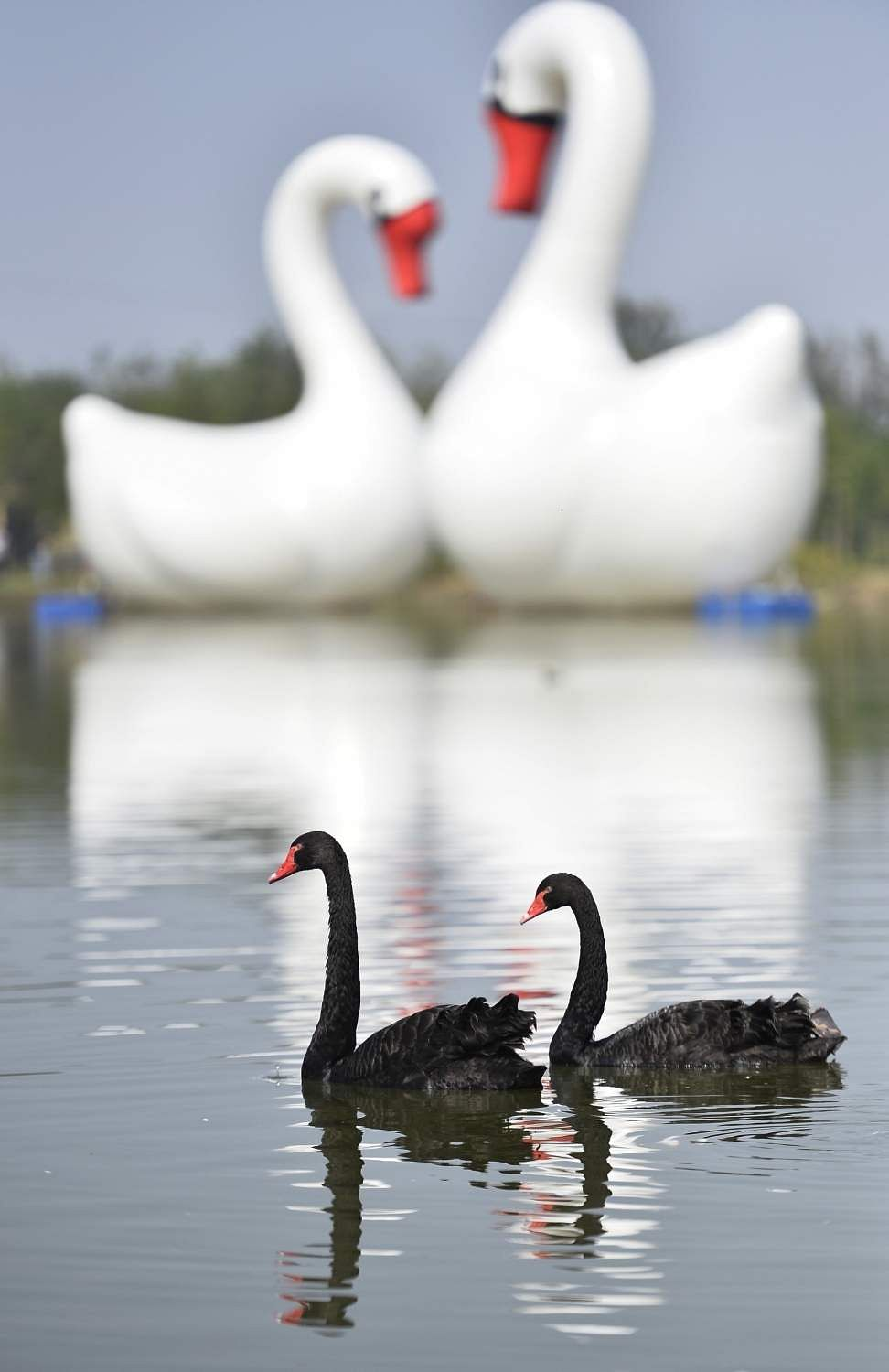 Two black swans in Zaozhuang