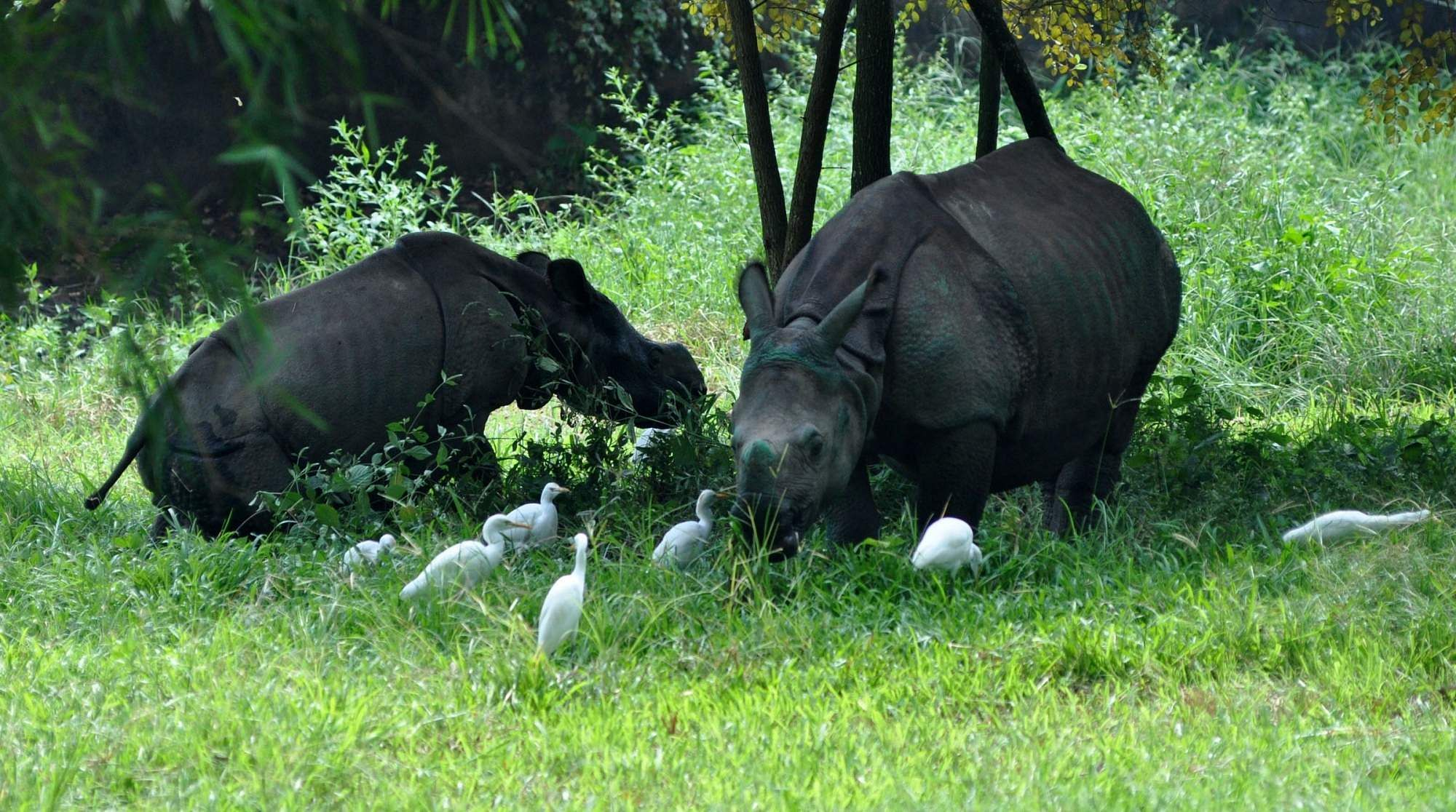 Rhinoceros calves at Assam State Zoo