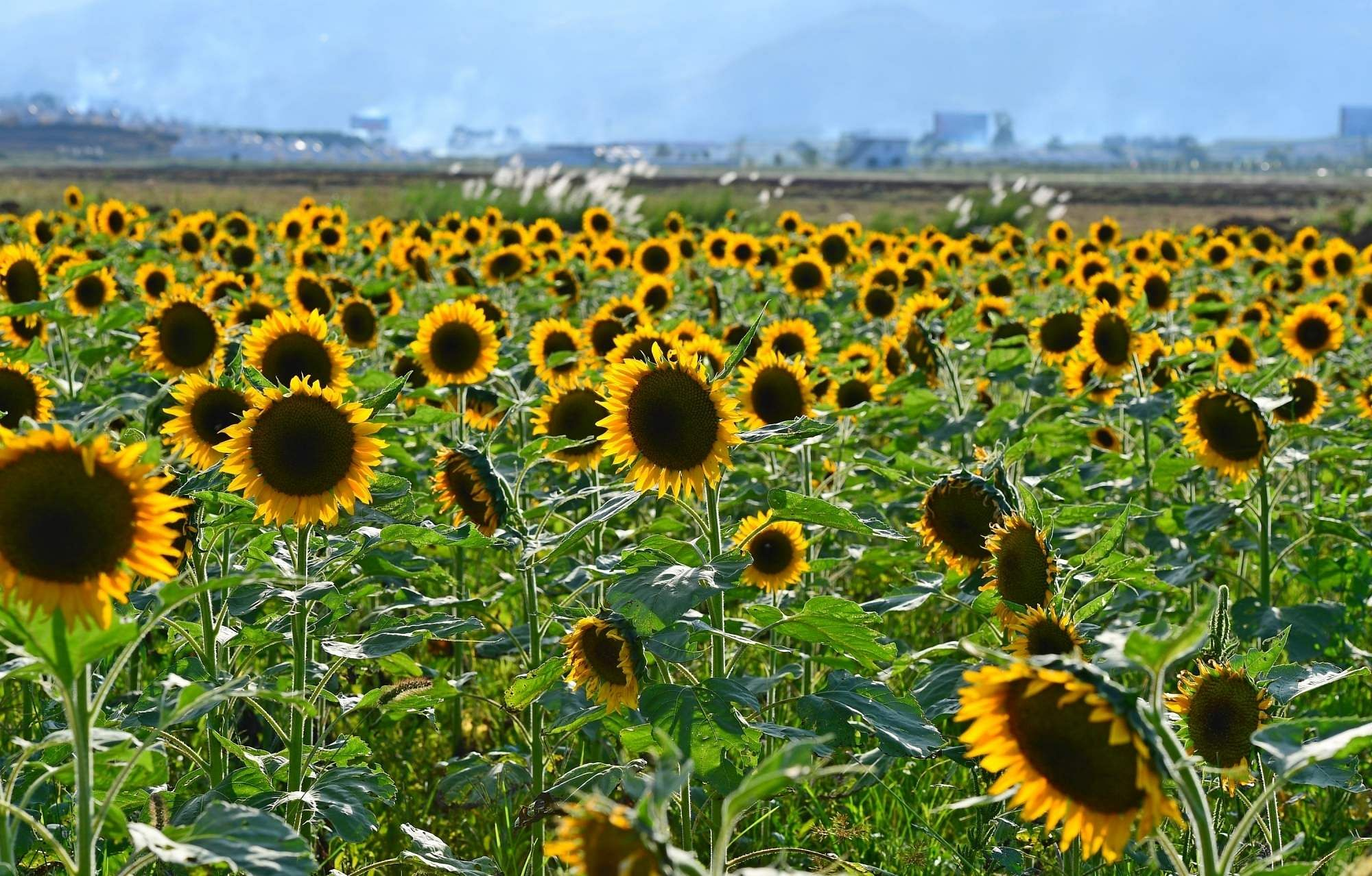 Sunflowers in Luoping County