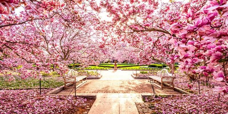 Cherry blossom international dating