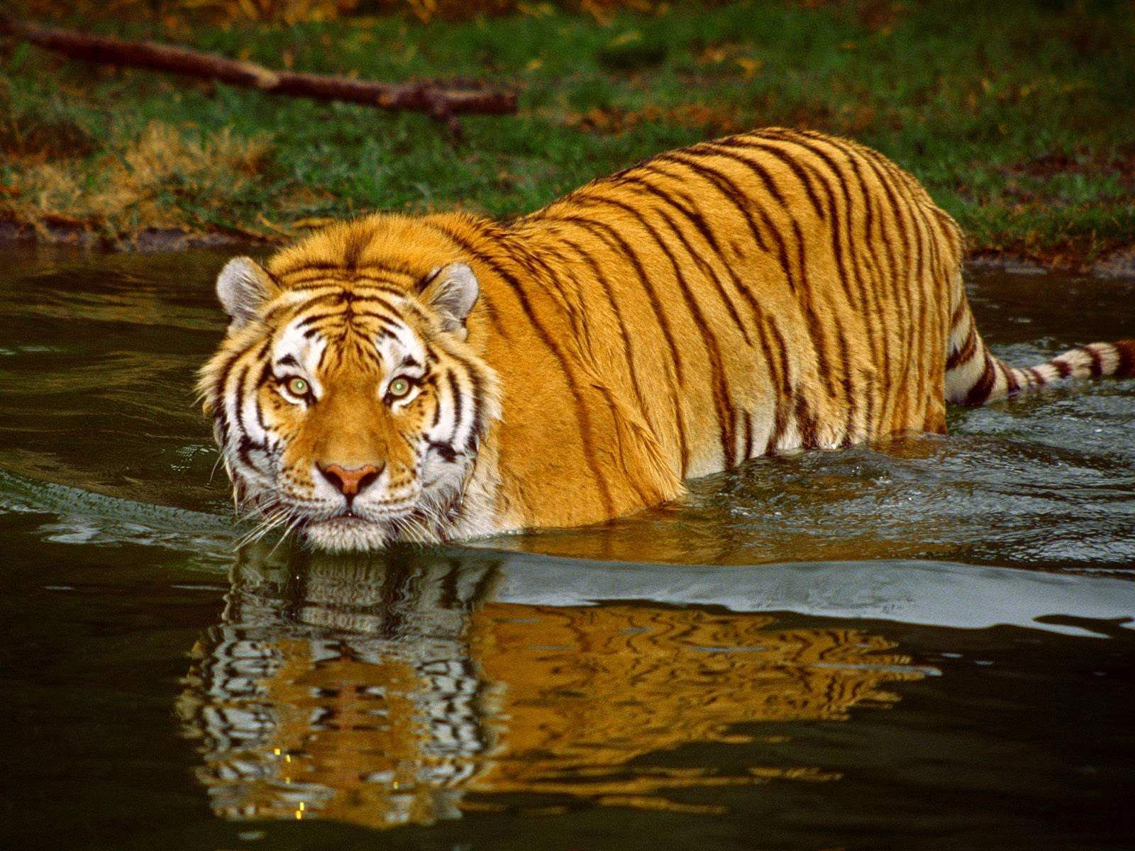 (File photo) Spotting tigers is not easy in the Sundarbans