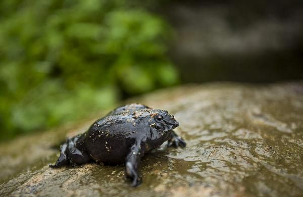 Purple Frog photo