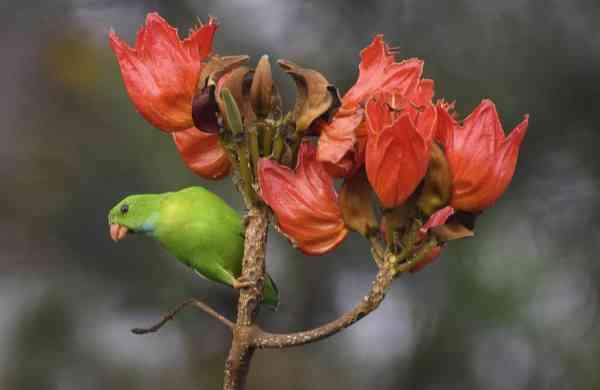 Vernal hanging parrot (Photo: Atreyo Mukhopadhyay)