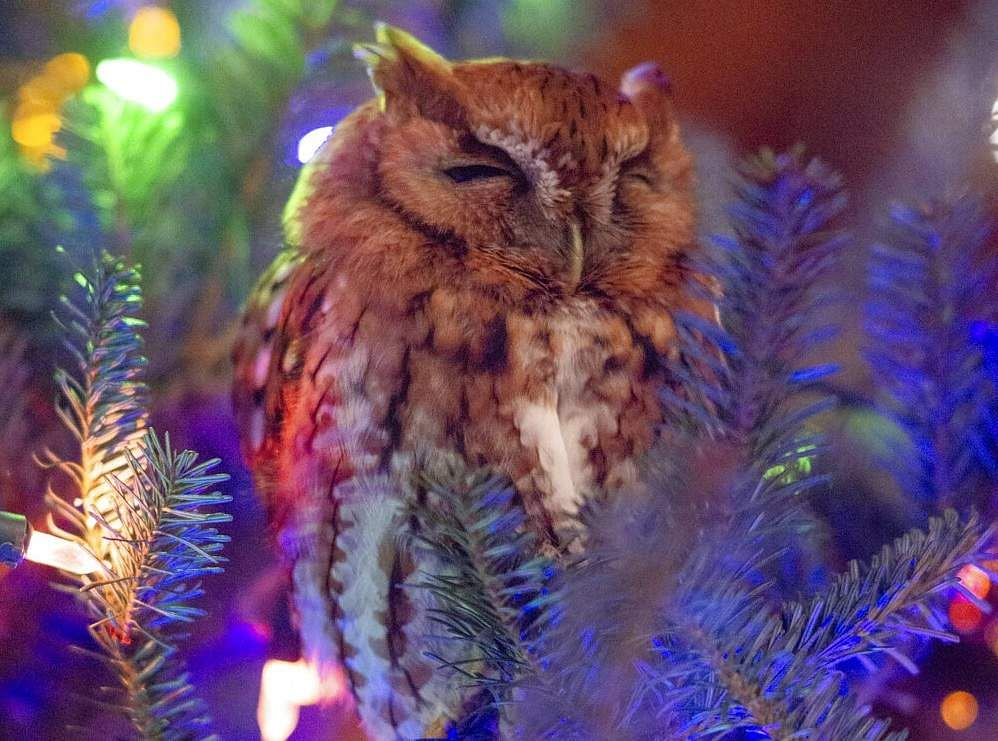 An owl in a Christmas tree (Billy Newman Photography via AP)