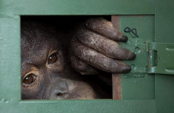 Cola, a 10-year-old female orangutan, waits in a cage to be sent back to Indonesia at a Suvarnabhumi Airport in Bangkok, Thailand. (AP Photo/Sakchai Lalit)