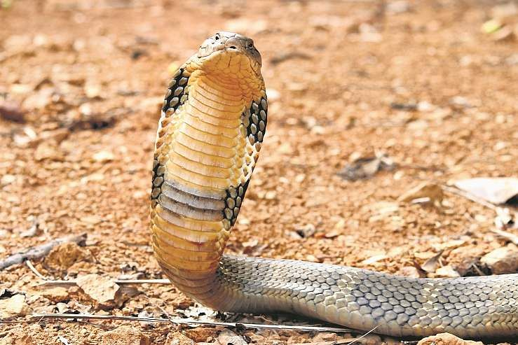 King Cobra and I with Gowri Shankar