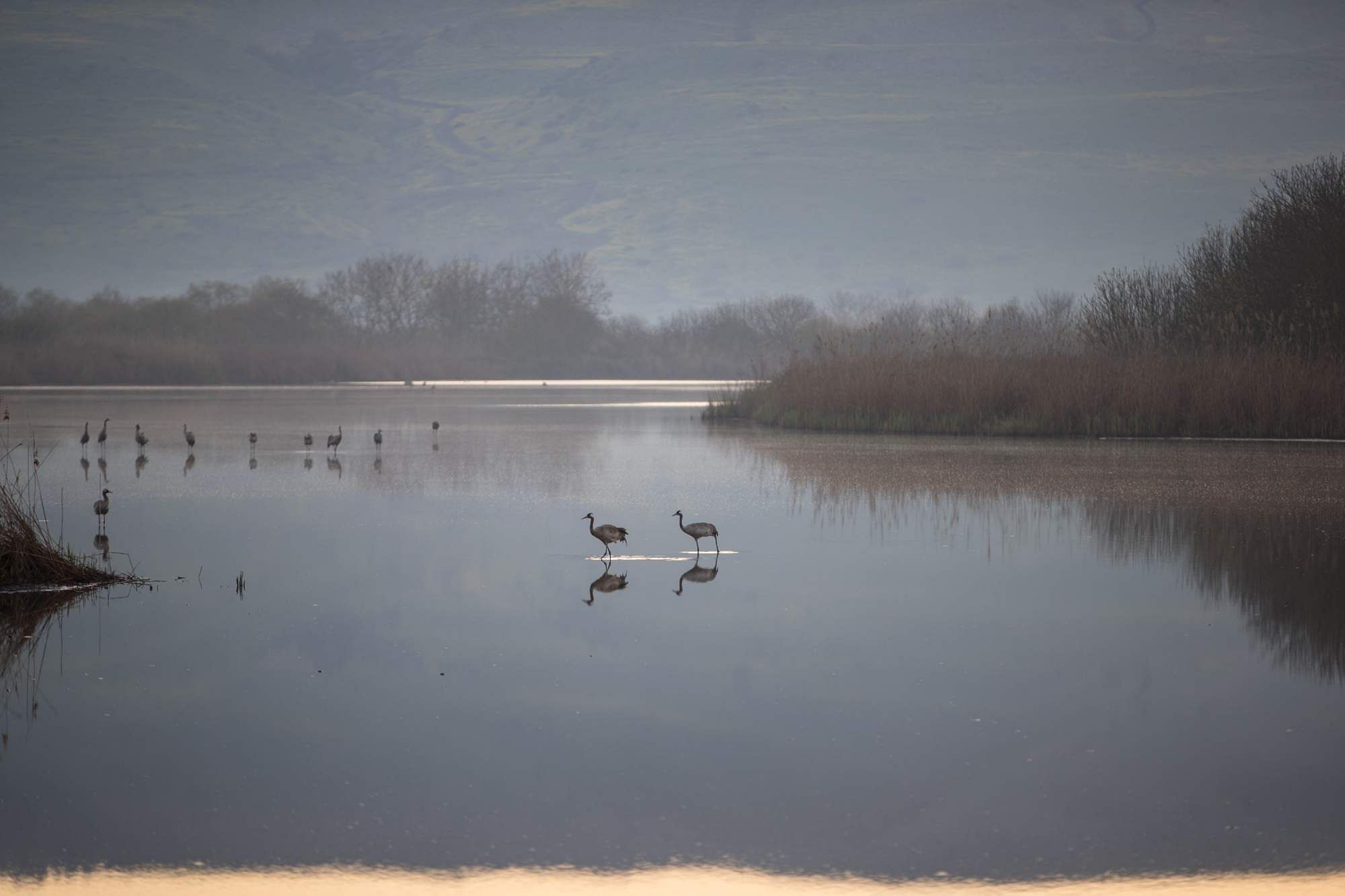 Hula Valley: Grus grus within the Agamon Hula Ornithology and Nature Park in Northern Israel. Every year, hundreds of millions of wintering birds migrate from Europe to Africa by way of Israel.