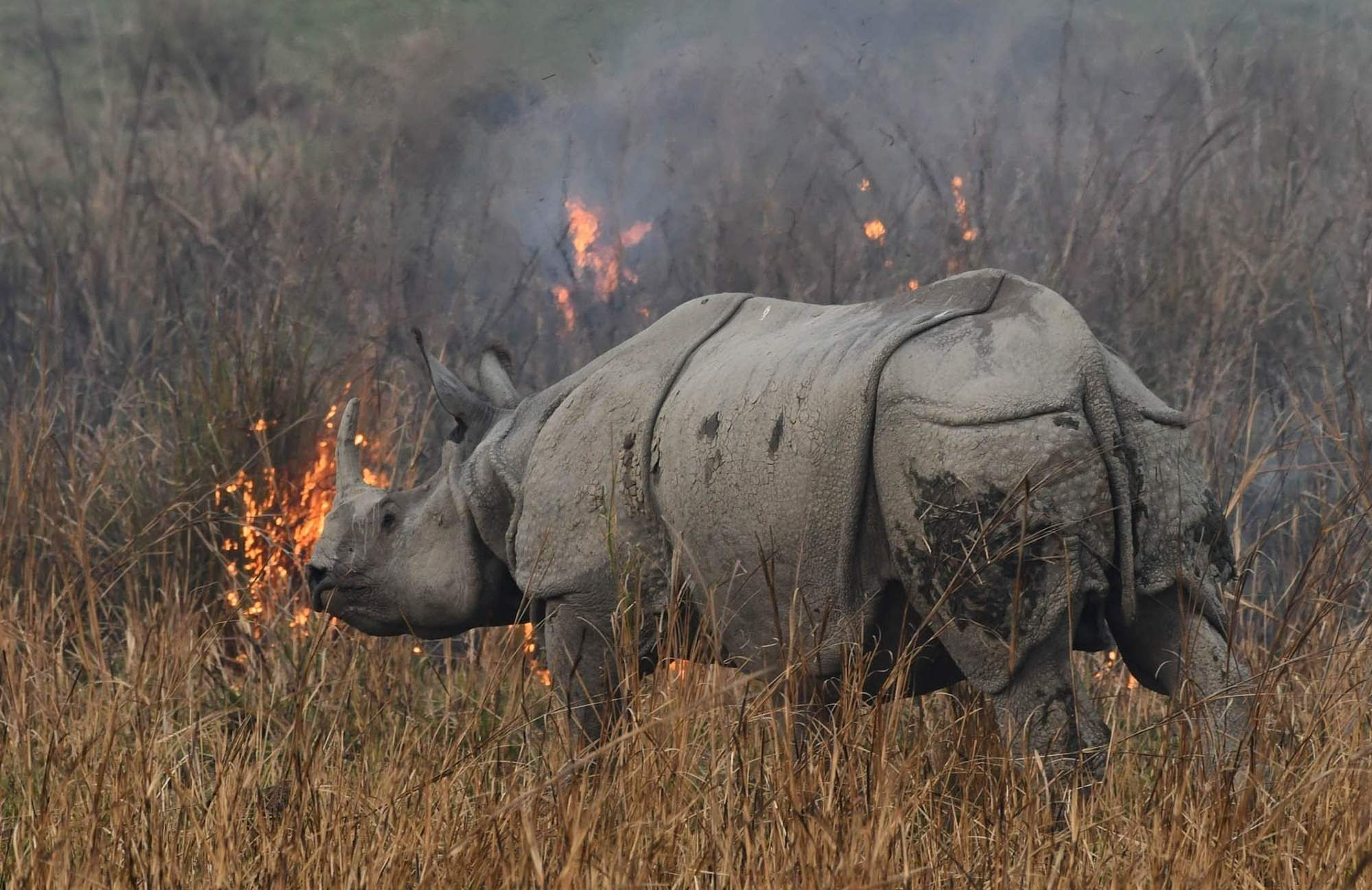 Morigaon: A rhinoceros tries to escape wildfire that broke out in Pobitora Wildlife Sanctuary in Morigaon district of Assam; on March 4, 2019. (Photo: IANS)