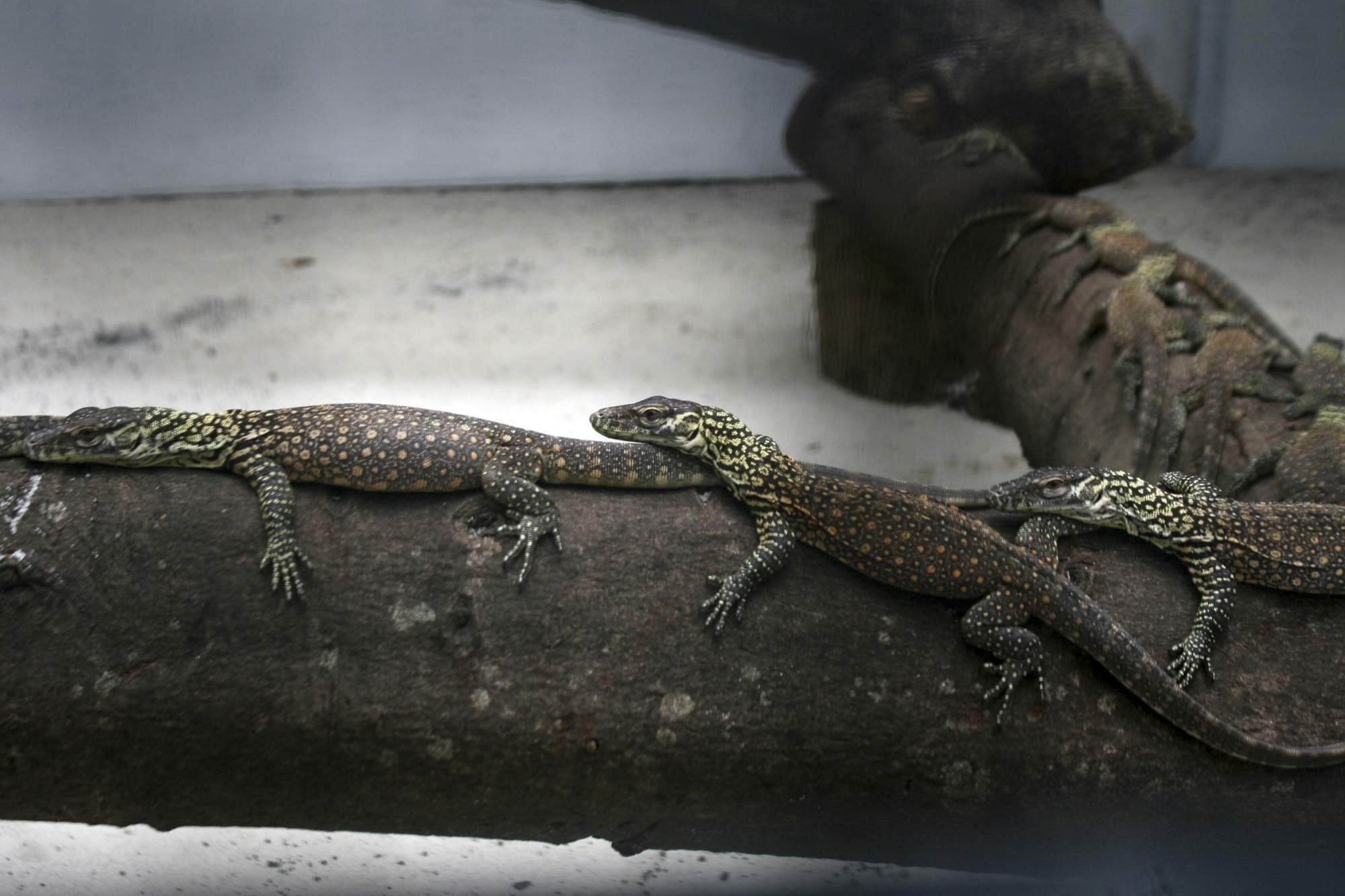 SURABAYA, March 7, 2019 (Xinhua) -- Newborn Komodo dragons are seen in the cage in Surabaya Zoo, Surabaya, East Java, Indonesia, on March 7, 2019. 74 baby Komodo dragons were born from January to Febr