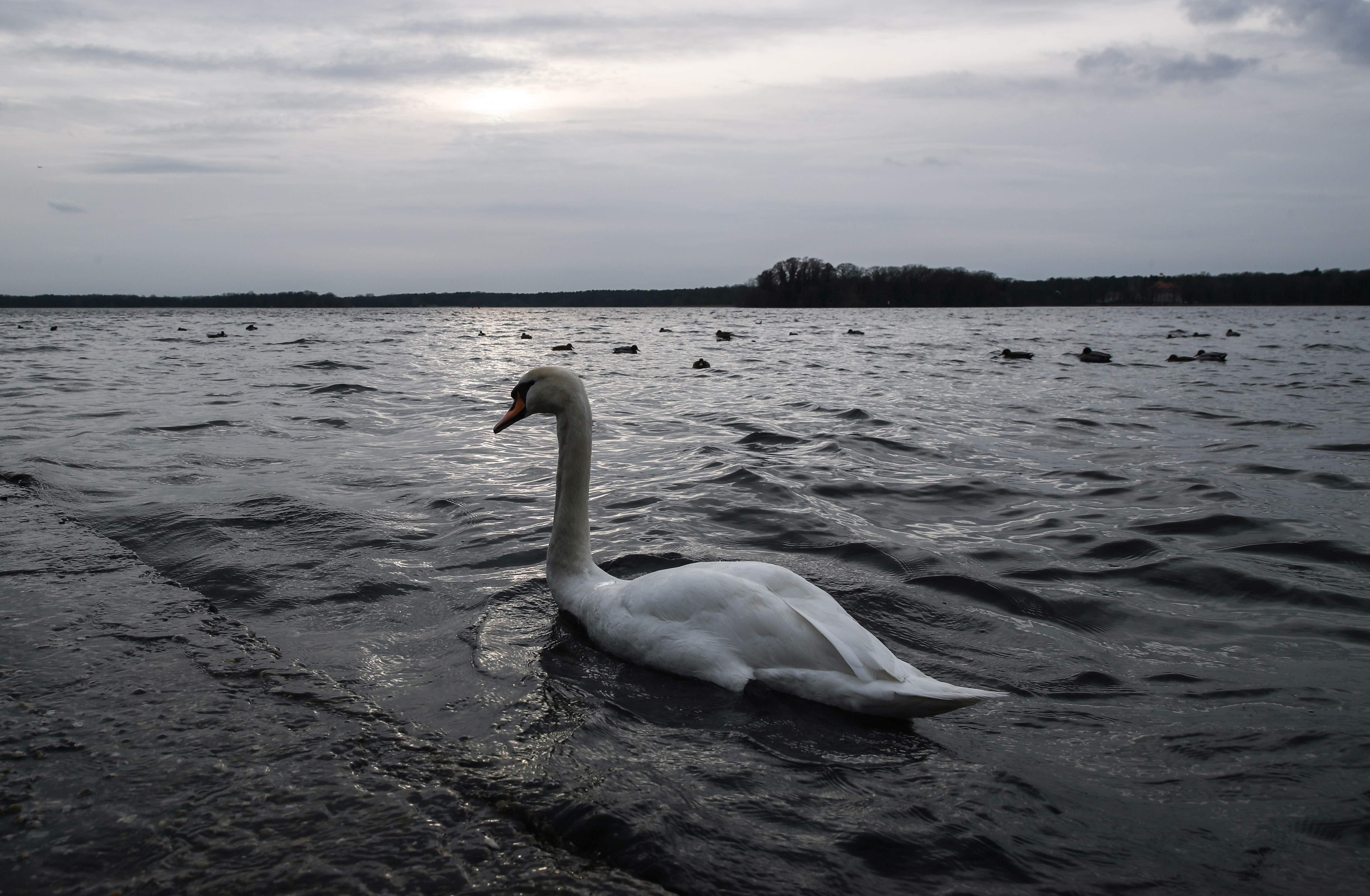 BERLIN, March 13, 2019 (Xinhua) -- A swan is seen on lake Tegel in Berlin, capital of Germany, on March 12, 2019. (Xinhua/Shan Yuqi/IANS)