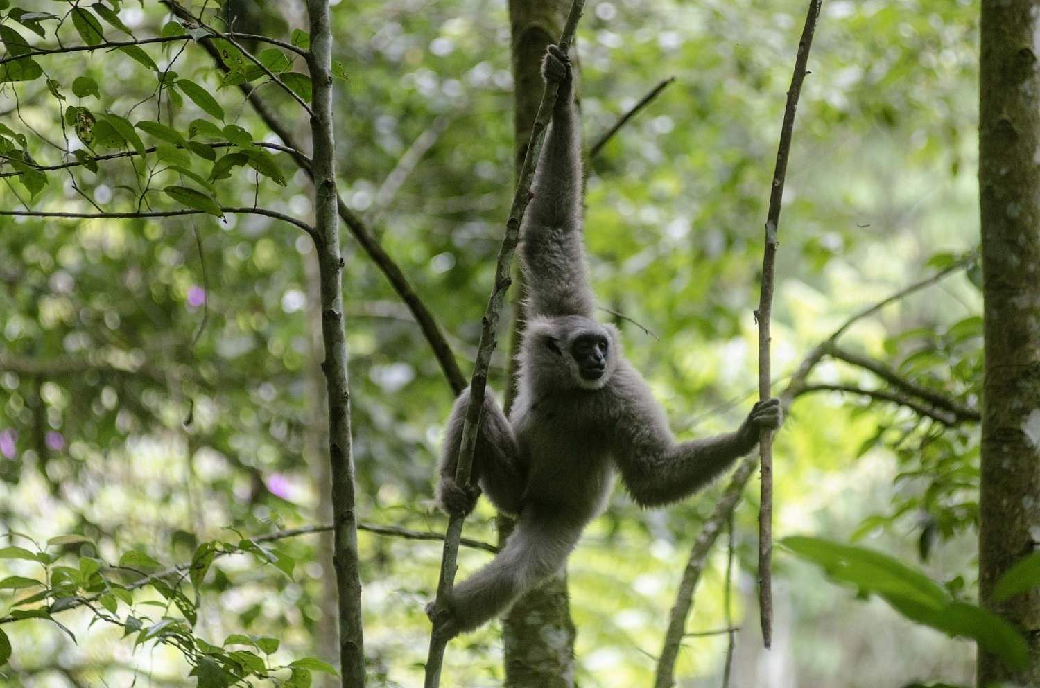 WEST JAVA, March 14, 2019 - A Javan silvery gibbon (Hylobates Moloch) swings on a tree after being released in the wild at Gunung Tilu conservation in West Java, Indonesia. (Xinhua/Septianjar/IANS)