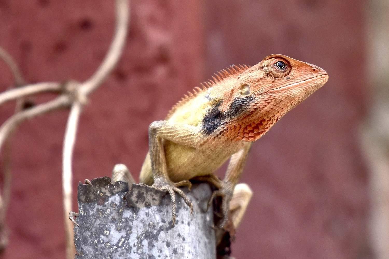 Guwahati: An Oriental garden lizard looks for a prey at a park in Guwahati, on March 15, 2019. (Photo: IANS)