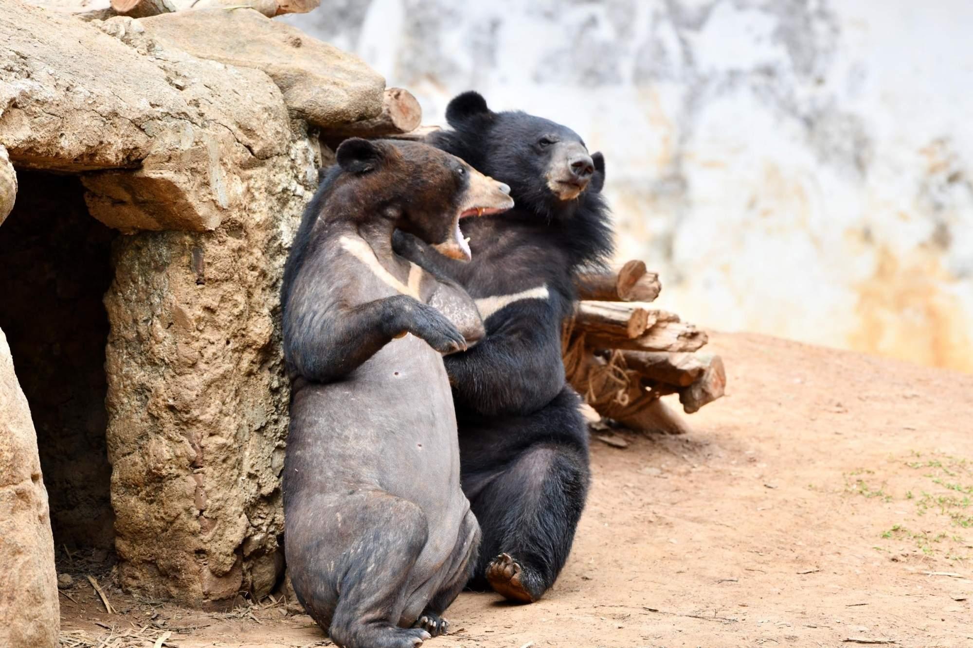 Guwahati: Himalayan Black Bears play inside their enclosure at Assam State Zoo Cum Botanical Garden in Guwahati, on April 4, 2019. (Photo: IANS)