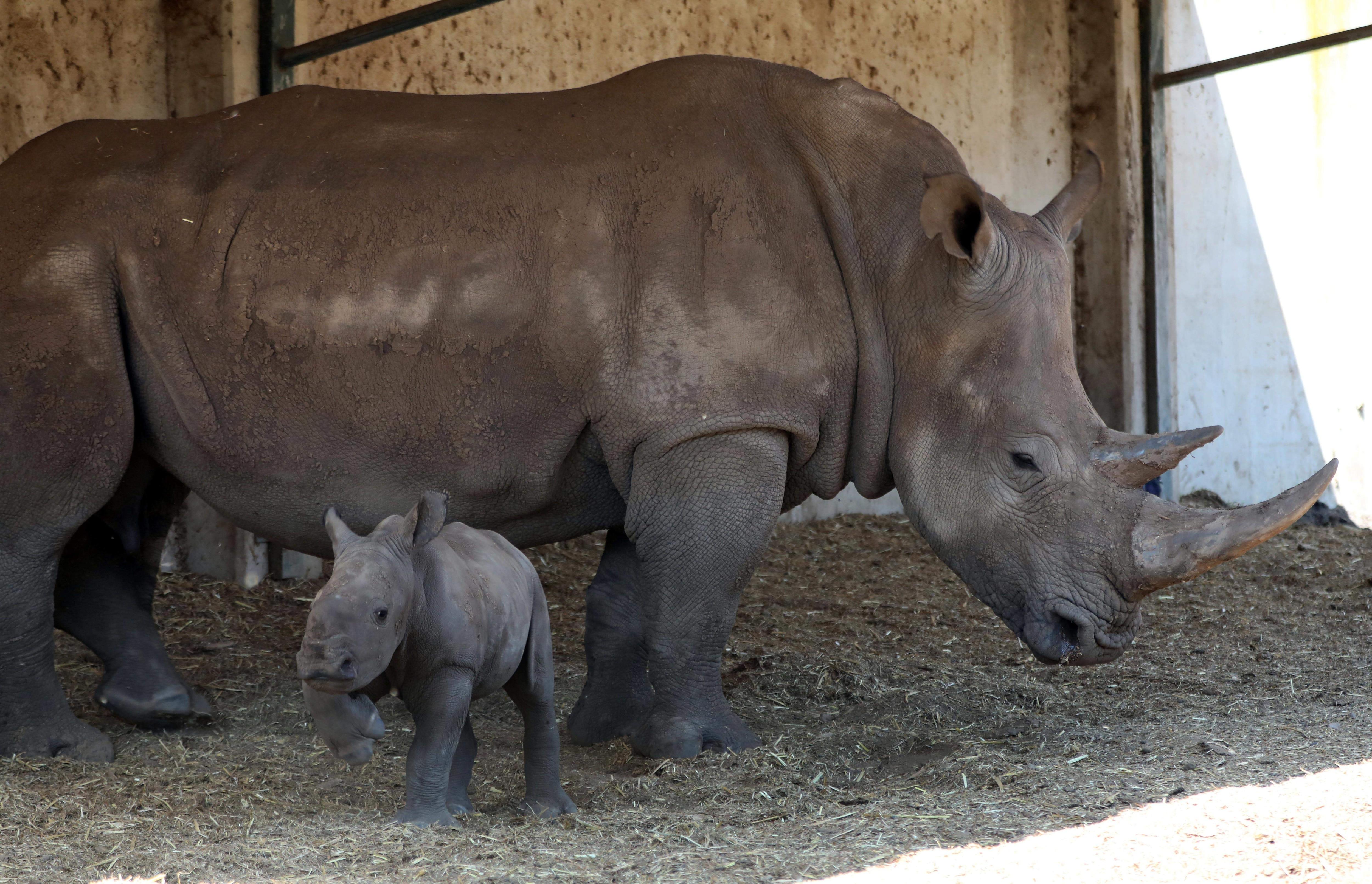 RAMAT GAN, April 4, 2019 (Xinhua) -- The newly born female southern white rhinoceros and its mother are seen at the Safari Park in Ramat Gan, Israel, April 3, 2019. (Xinhua/JINI/Gideon Markowicz/IANS)