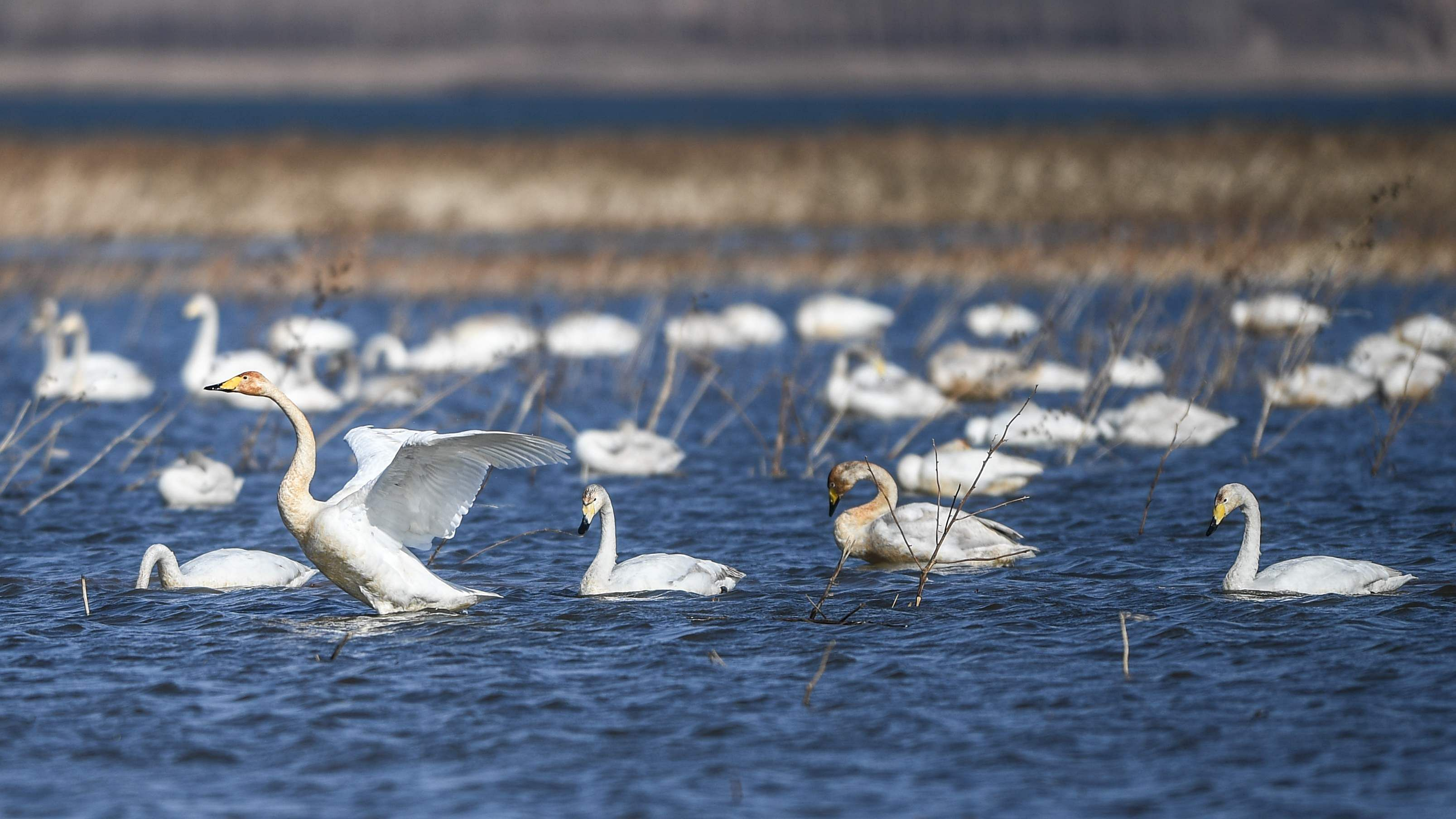 BEIPIAO, April 2, 2019 (Xinhua) -- Photo taken on April 2, 2019 shows migratory swans swimming in the Baishi Reservoir in Beipiao of northeast China's Liaoning Province. (Xinhua/Pan Yulong/IANS)