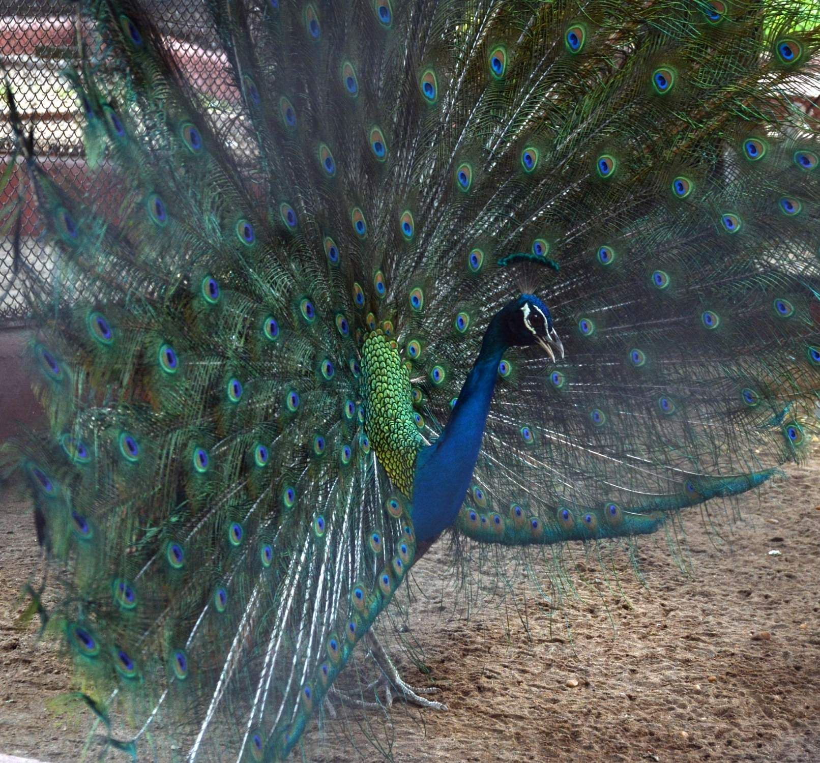 Kolkata: A peacock with its extended feathers, seen at its enclosure at Alipore Zoological Garden, in Kolkata on April 5, 2019. (Photo: Kuntal Chakrabarty/IANS)