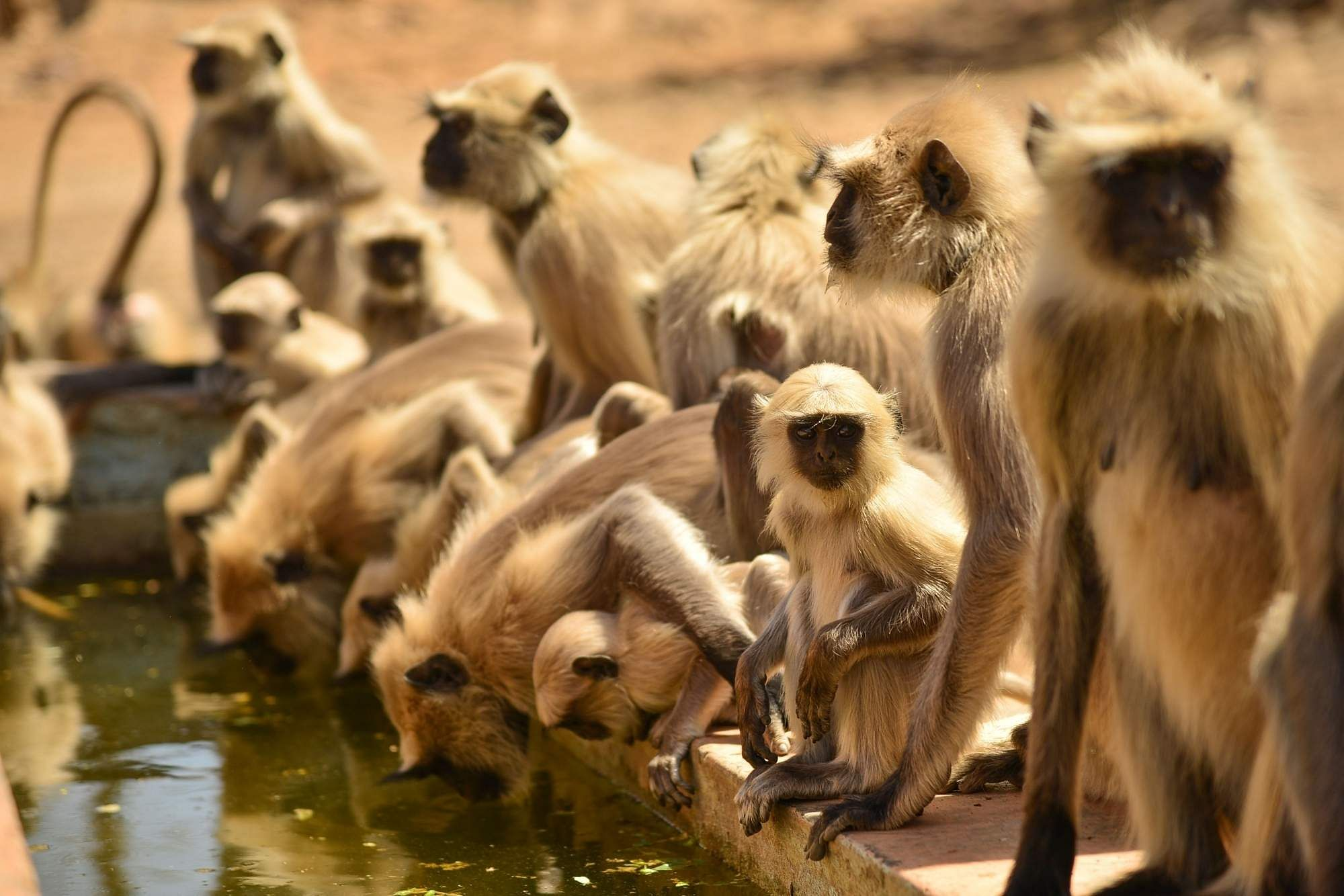 Ajmer: A troop of Grey Langurs drink water from a pond on a hot sunny day in Ajmer, Rajasthan on April 5, 2019. (Photo: Shaukat Ahmed/IANS)