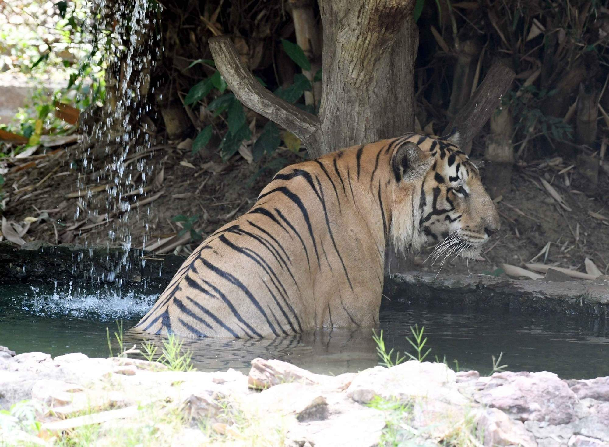 Patna: A tiger takes a bath in a pond inside its enclosure to beat the heat on a hot sunny day, at Patna Zoo on May 9, 2019. (Photo: IANS)