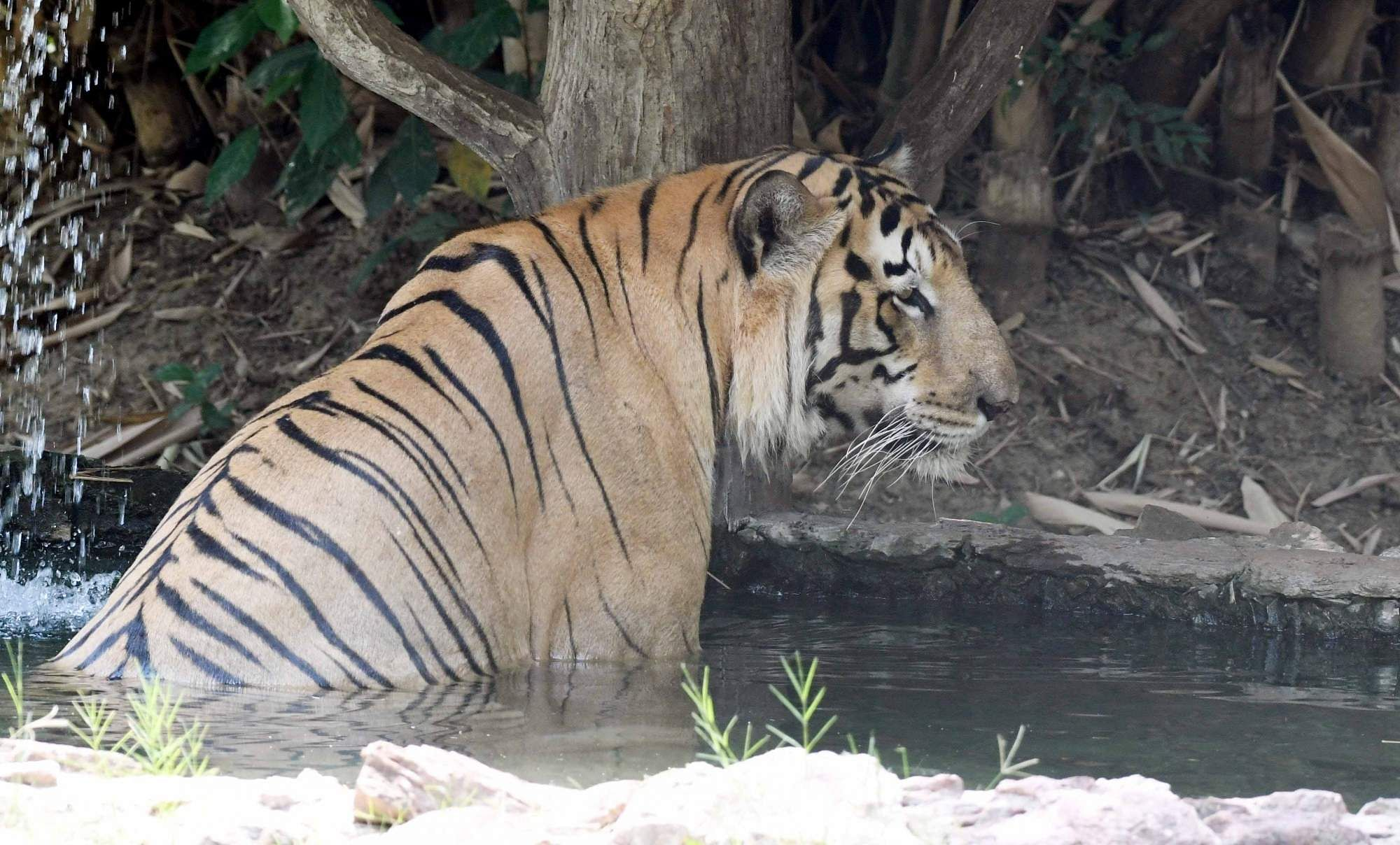 Summer Diary: A tiger takes a dip in a pond to beat the heat on a