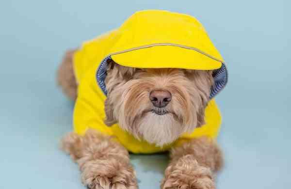 canadian-dog-magazine-yellow-dog-rain-coat-3