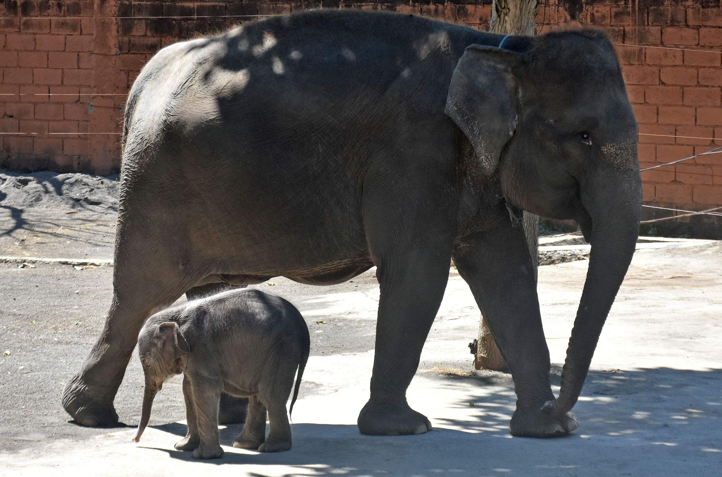 MALANG, July 13, 2019 (Xinhua) -- A nine-day baby Sumatran elephant stays with its mother at a zoo in Batu in Malang, Indonesia, July 13, 2019. (Xinhua/A. Rochman/IANS)