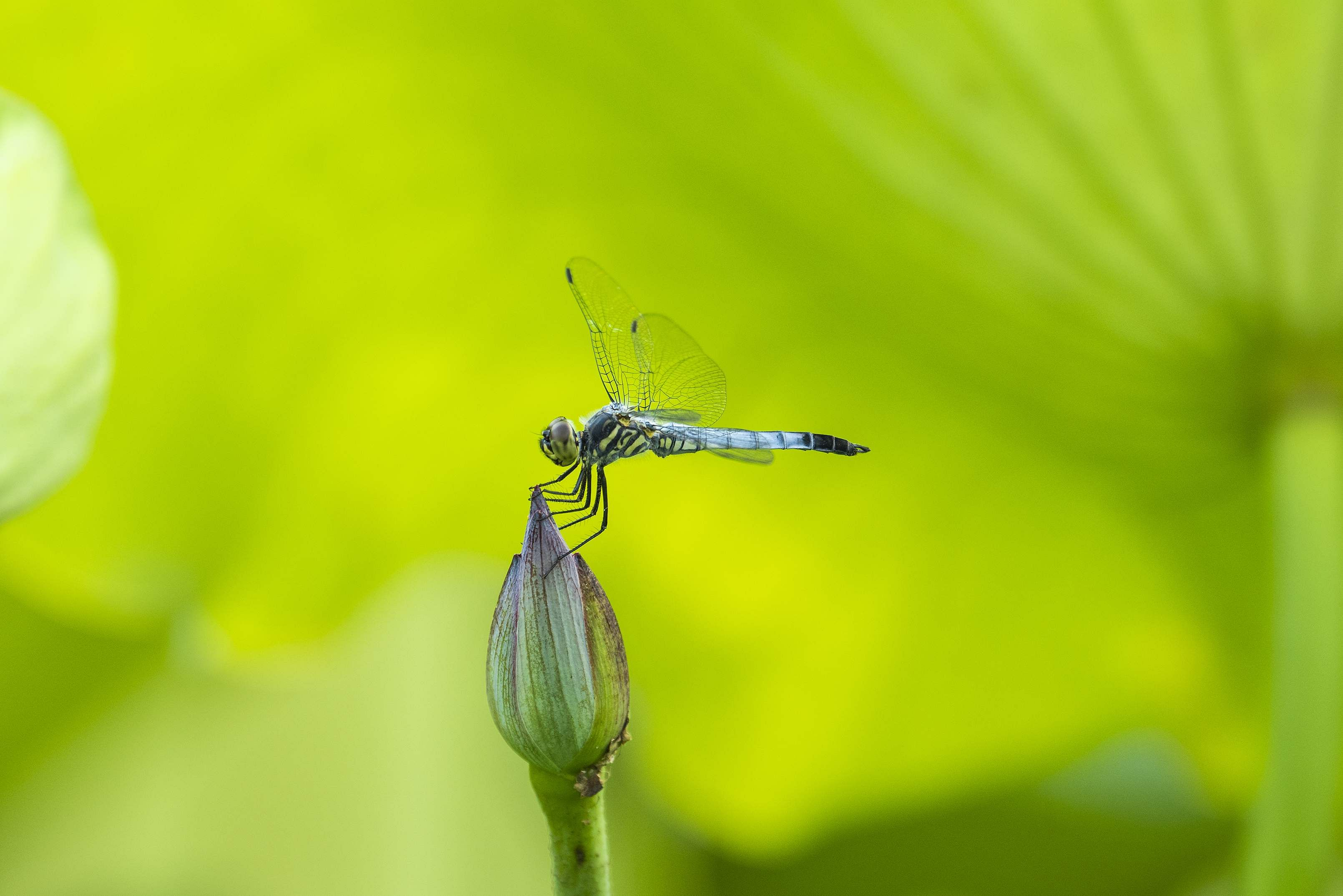 WUHU, July 7, 2019 (Xinhua) -- A dragonfly is perched on a lotus bud at a park in Wuhu, east China's Anhui Province, July 7, 2019. (Photo by Shui Congze/Xinhua/IANS)