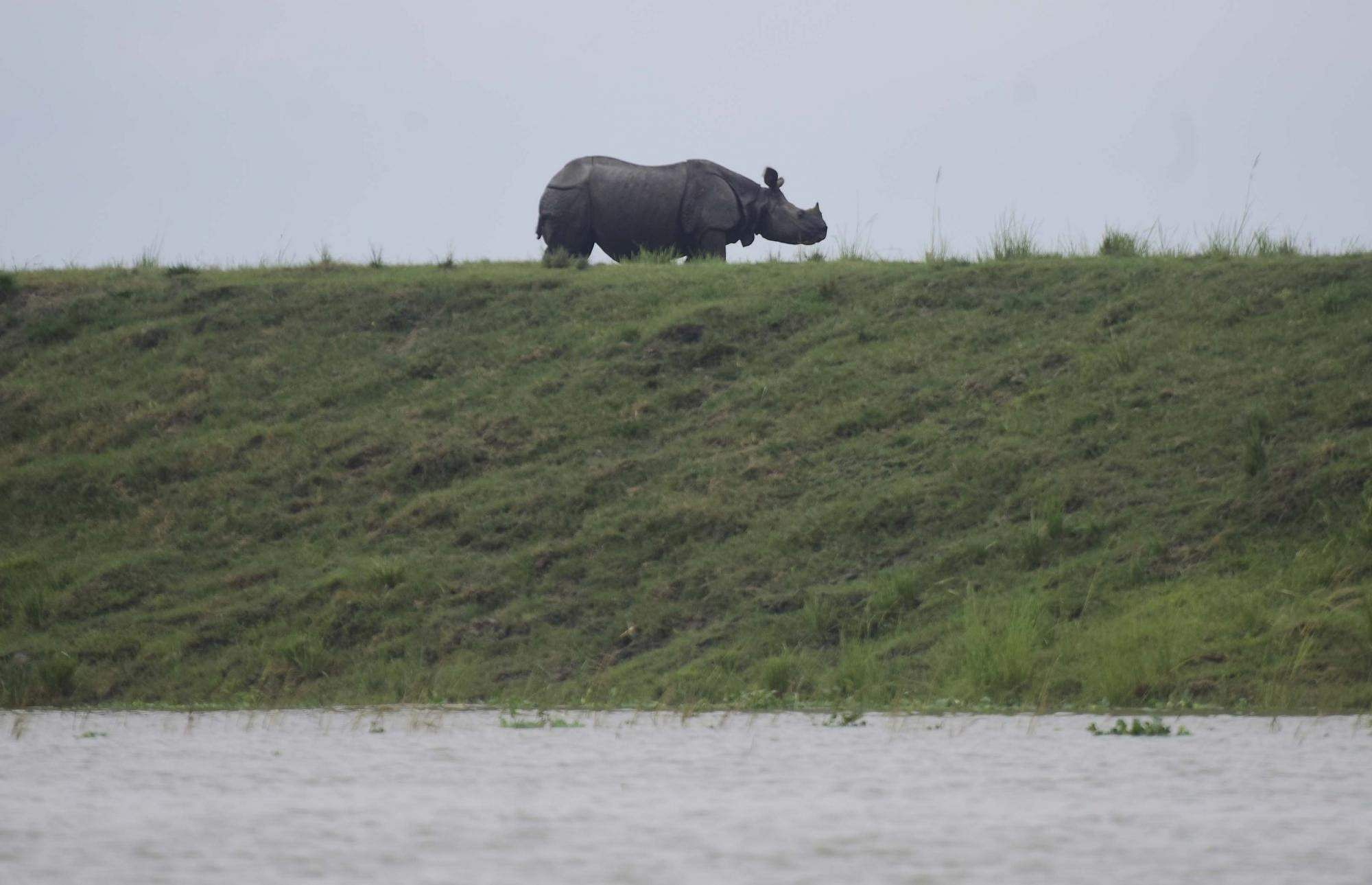 Kanchanjuri: A one-horned Rhino takes refuge from flood waters on a highland at the flood affected Kaziranga National Park in Assam's Kanchanjuri, on July 13, 2019. (Photo: IANS)