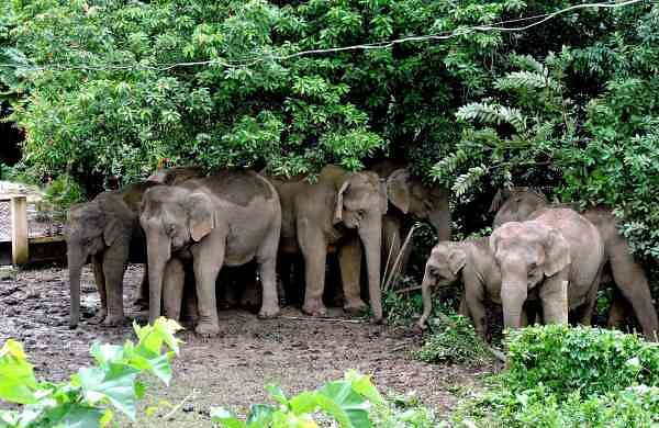 A herd of wild elephants in Tezpur, Sonitpur district, Assam (Photo: IANS)