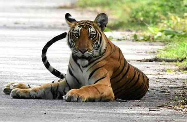 India's tiger population is on the rise (File Photo: IANS)