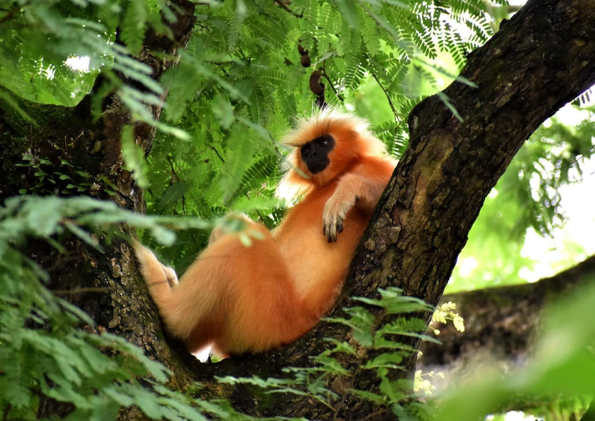 Guwahati: A Golden Langur, one of the most endangered primate species of India, relaxes on a tree at Assam State Zoo and Botanical Garden in Guwahati. (Photo: IANS)