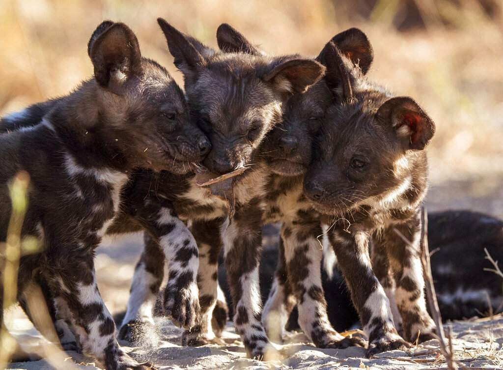 This image released by Discovery shows wild dog pups from episode four of 'Serengeti,' a six-part series premiering Sunday, August 4. (Geoff Bell/Discovery via AP)