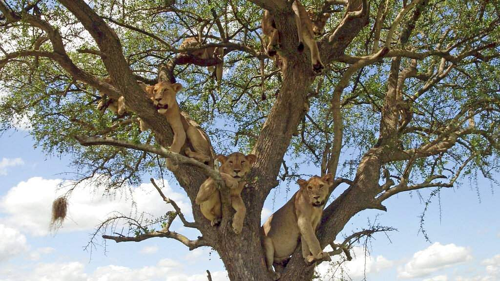 This image released by Discovery shows lioness resting in acacia tree from episode four of 'Serengeti,' a six-part series premiering Sunday, August 4. (Geoff Bell/Discovery via AP)