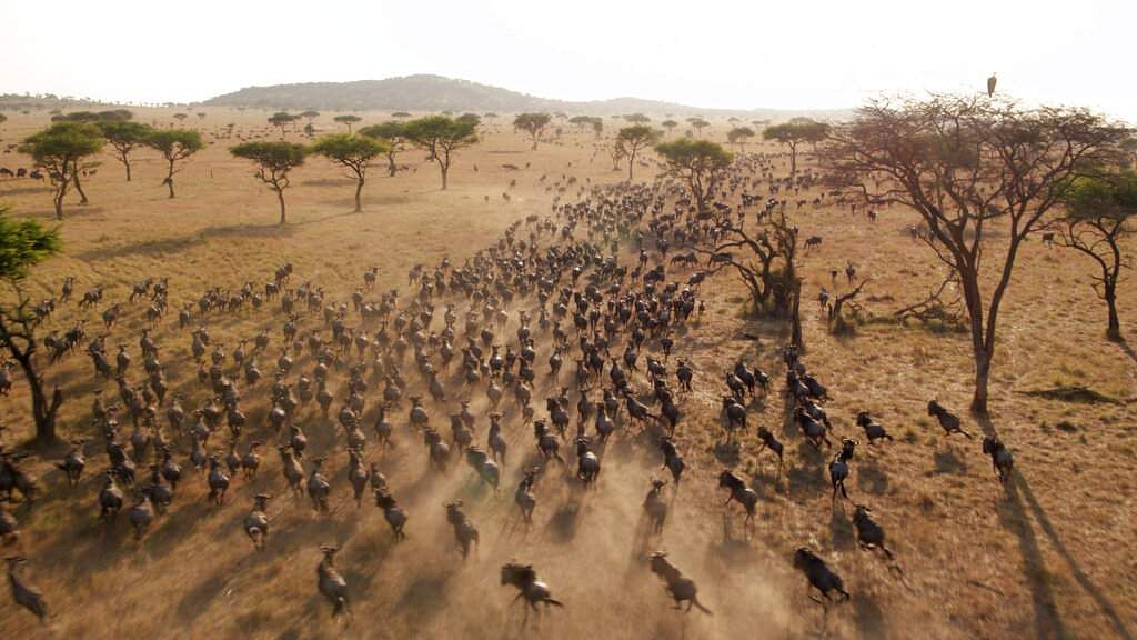 This image released by Discovery shows Wildebeest migrating in a scene from episode three of 'Serengeti,' a six-part series premiering Sunday, August 4. (Geoff Bell/Discovery via AP)