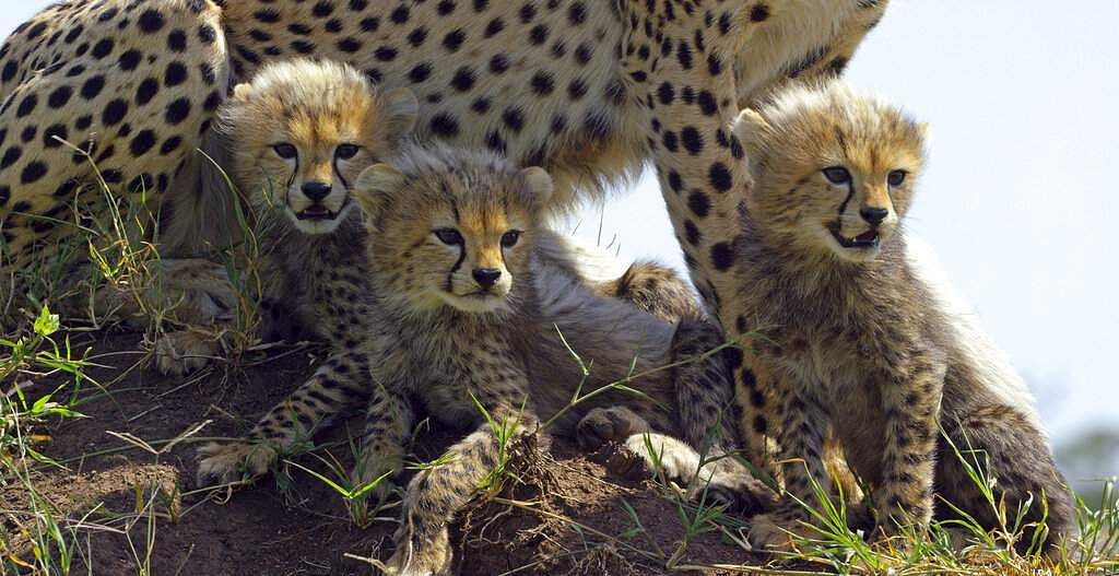 This image released by Discovery shows Cheetah cubs from episode two of 'Serengeti,' a six-part series premiering Sunday, August 4. (Richard Jonesl/Discovery via AP)