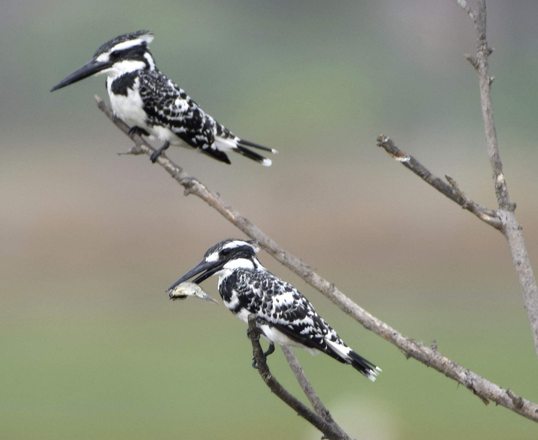 Hungry planet! Pied kingfisher. All photos by Atreyo Mukhopadhyay.