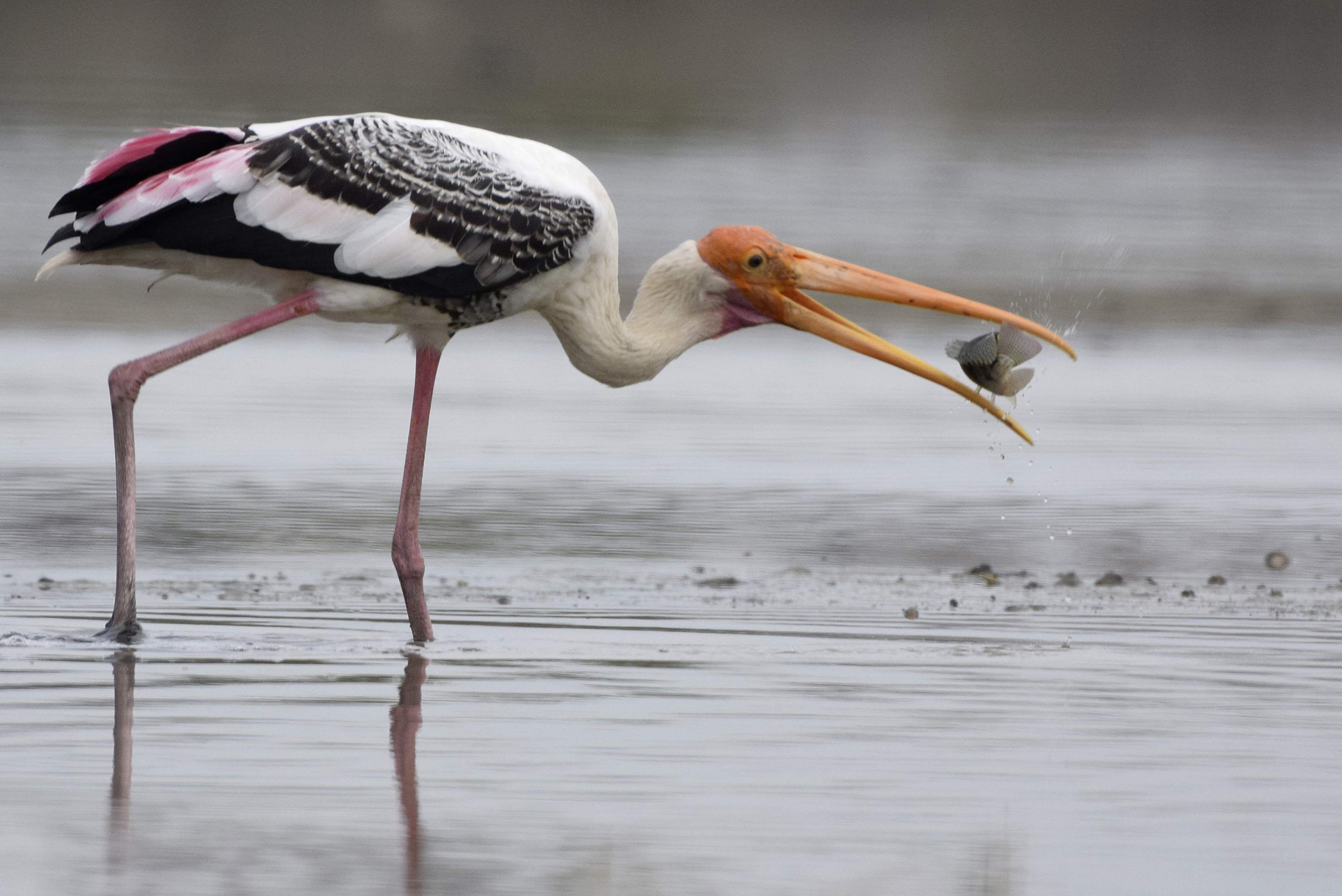 Hungry planet! Painted stork. All photos by Atreyo Mukhopadhyay.