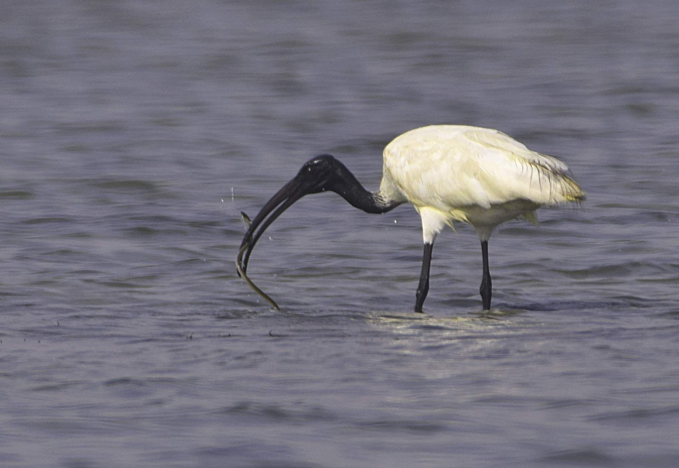 Hungry planet! Black-headed ibis. All photos by Atreyo Mukhopadhyay.