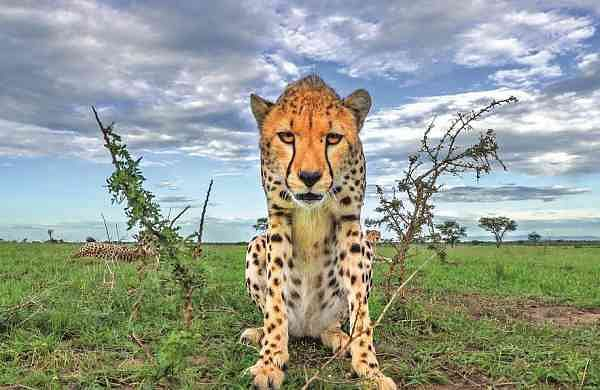 A cheetah at the Serengeti (Photo: Sony BBC Earth)