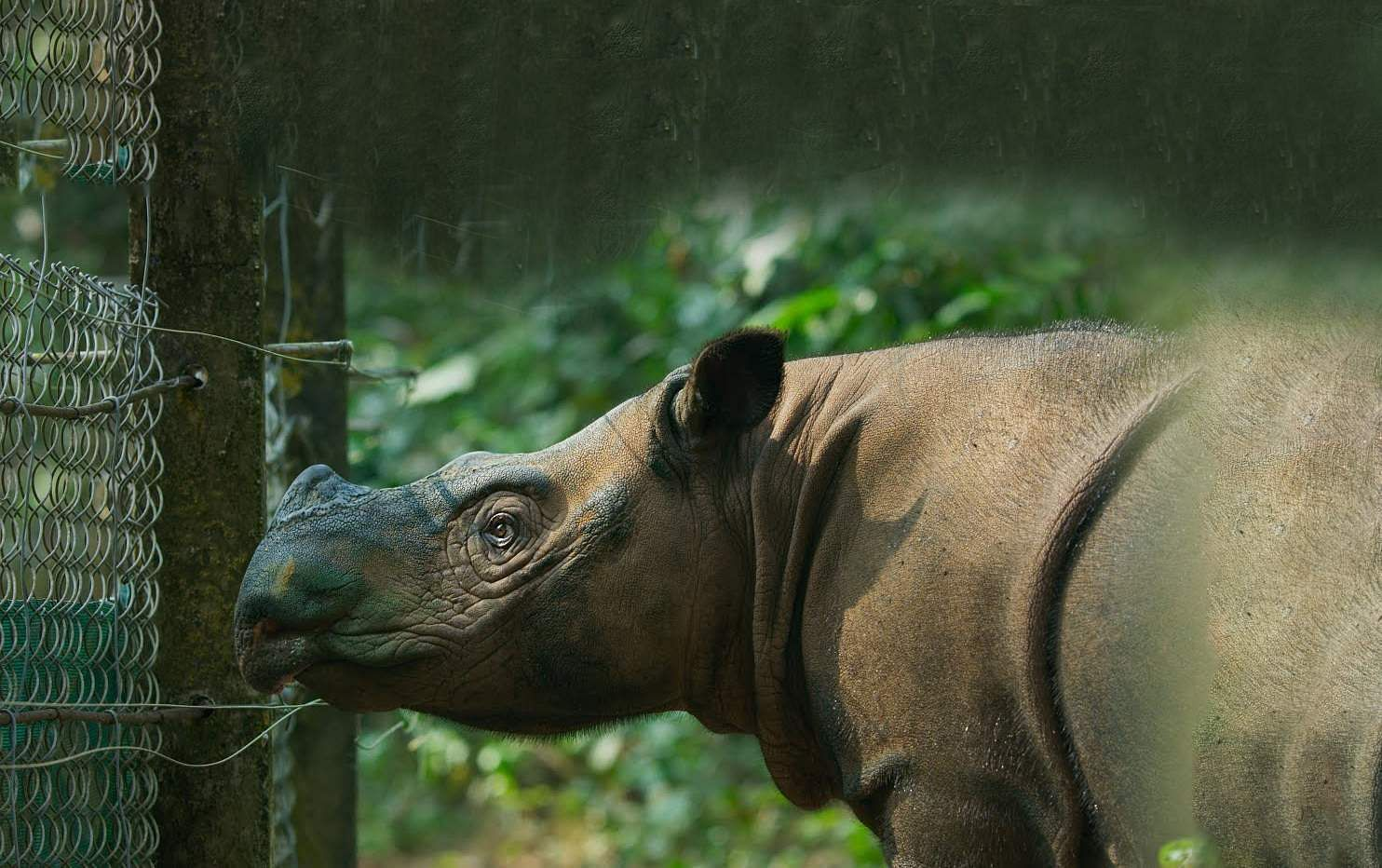The Sumatran Rhino
