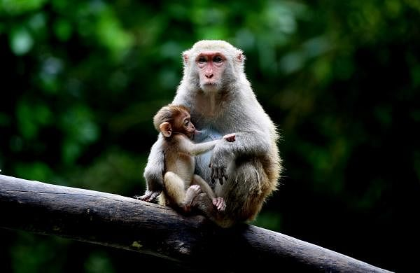 Yangon (Xinhua) - A monkey feeds its baby at the Zoological Gardens in Yangon, Myanmar. (Xinhua/U Aung/IANS)