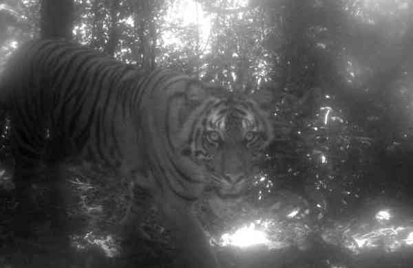 The Sumatran tiger (Panthera tigris sumatrae) (Photo: Max Allen/IANS)